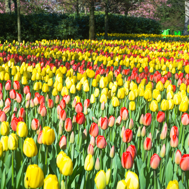 """Colorful tulips blooming in a park"" stock image"