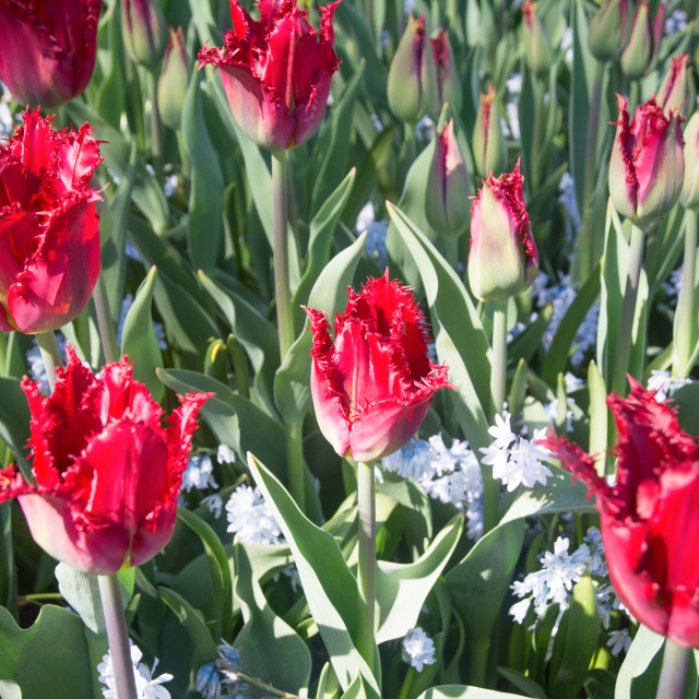 """Fringed red tulips (Crispa tulips) blooming in spring"" stock image"