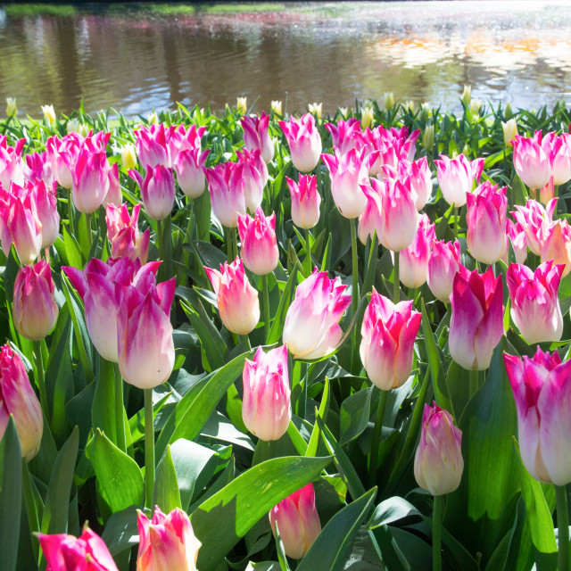 """Lily-Flowered Tulips blooming in a park"" stock image"