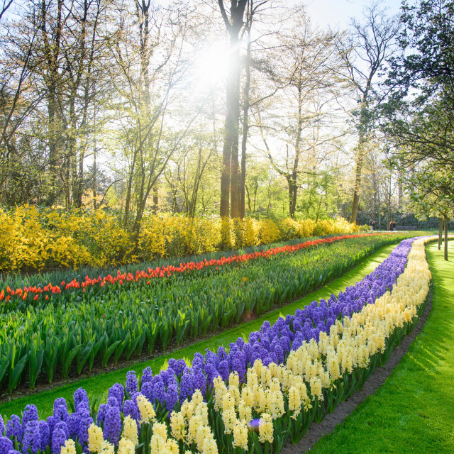 """Lane of colorful hyacinths blooming in a park"" stock image"