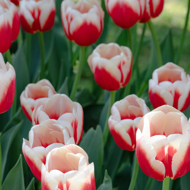 """Red White. Tulips. Flower. Nature. Garden. Flora"" stock image"