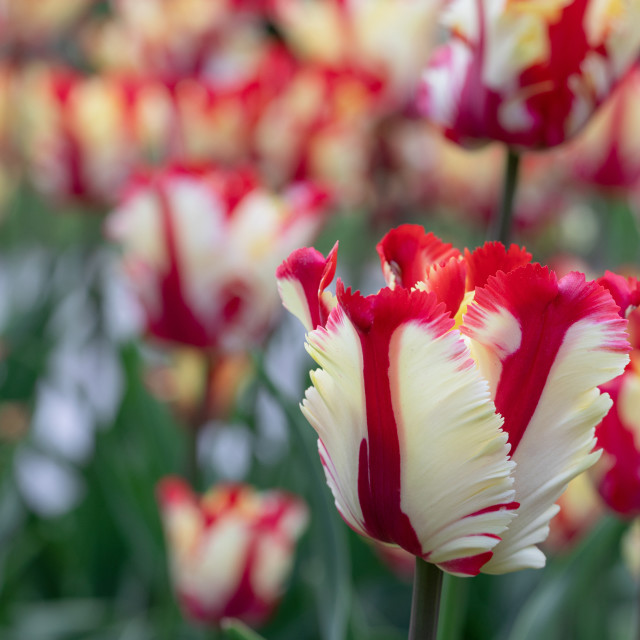 """Red. White. Tulips. Flower. Nature. Garden. Flora"" stock image"