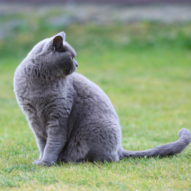 """English cat poses for outdoor photos.."" stock image"