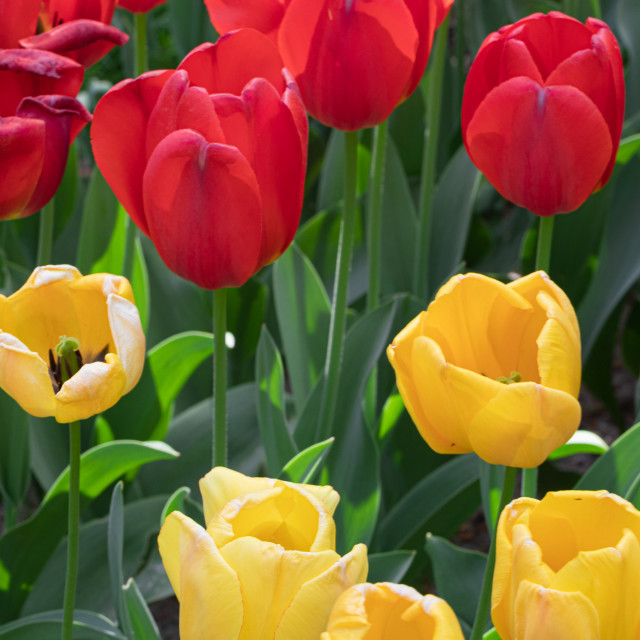 """Red Yellow. Tulip. Flowers. Nature. Garden. Flora"" stock image"