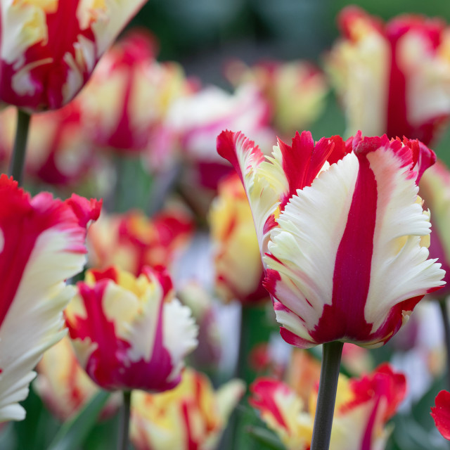 """Red White. Tulips Flower. Nature. Garden. Flora"" stock image"