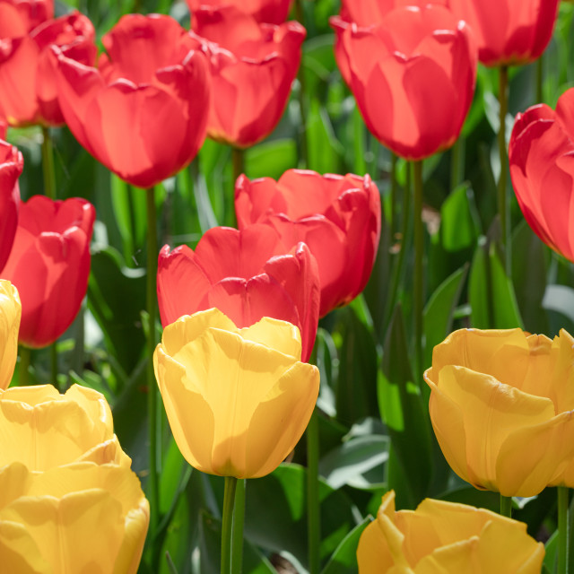 """Red. Yellow. Tulip. Flowers. Nature. Garden. Flora"" stock image"