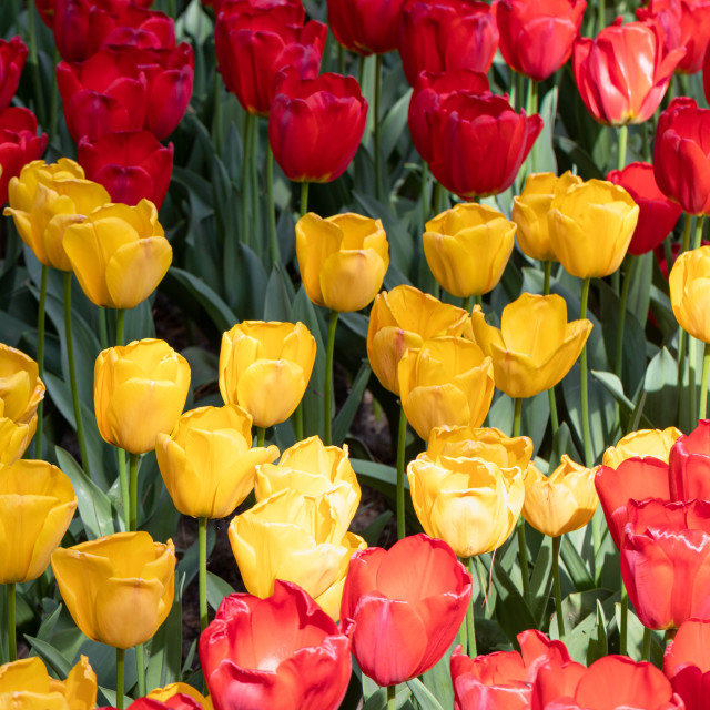 """Red. Yellow. Tulips Flower. Nature. Garden. Flora"" stock image"