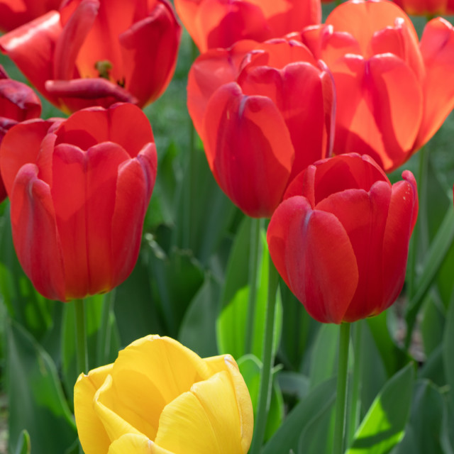 """Red Yellow Tulip. Flowers. Nature. Garden. Flora"" stock image"