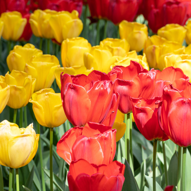 """""""Red. Yellow. Tulips. Flowers. Nature. Garden. Flora"""" stock image"""