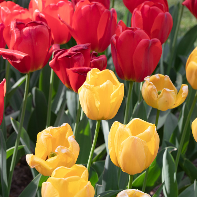 """""""Red. Yellow. Tulips. Nature. Flowers. Garden. Flora"""" stock image"""