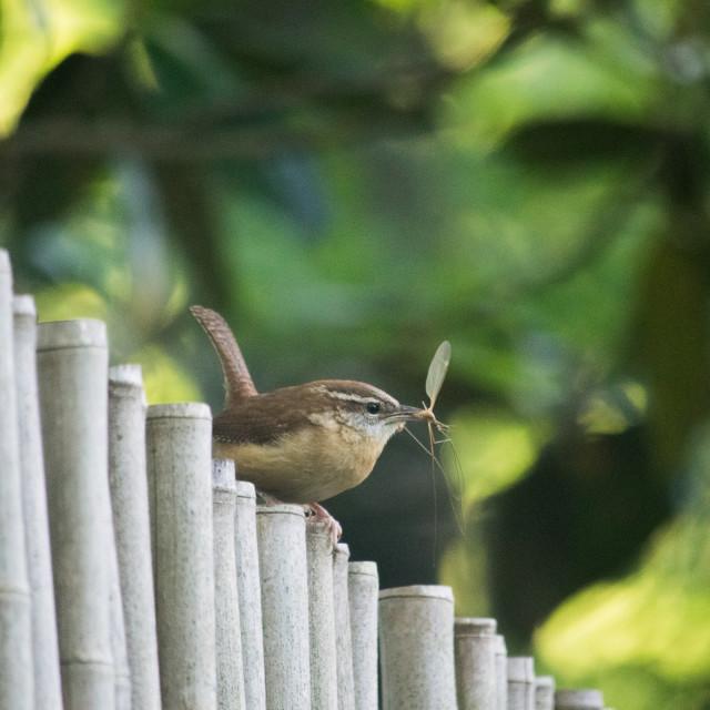 """""""Carolina Wren on a fence"""" stock image"""