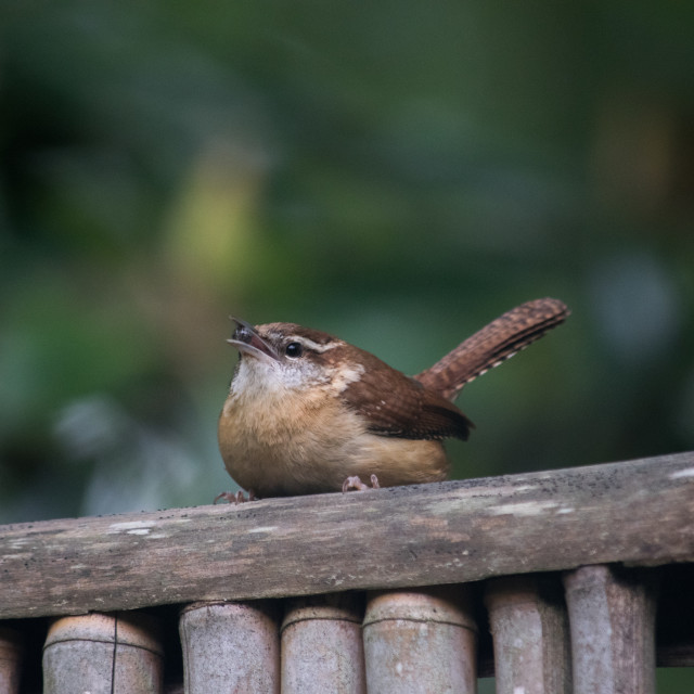 """Carolina Wren on a fence"" stock image"