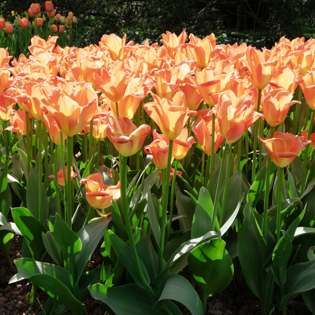 """Nature. Orange Tulips. Flowers. Garden. Flora"" stock image"