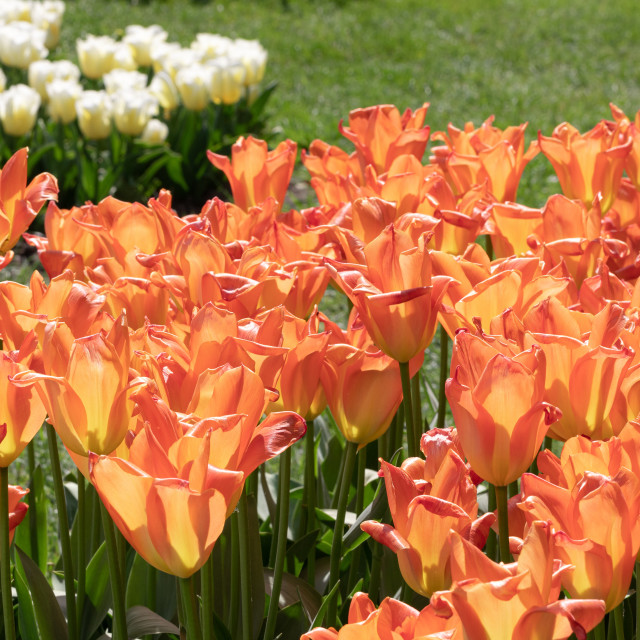 """Nature. Orange Tulip. Flowers. Garden. Flora"" stock image"