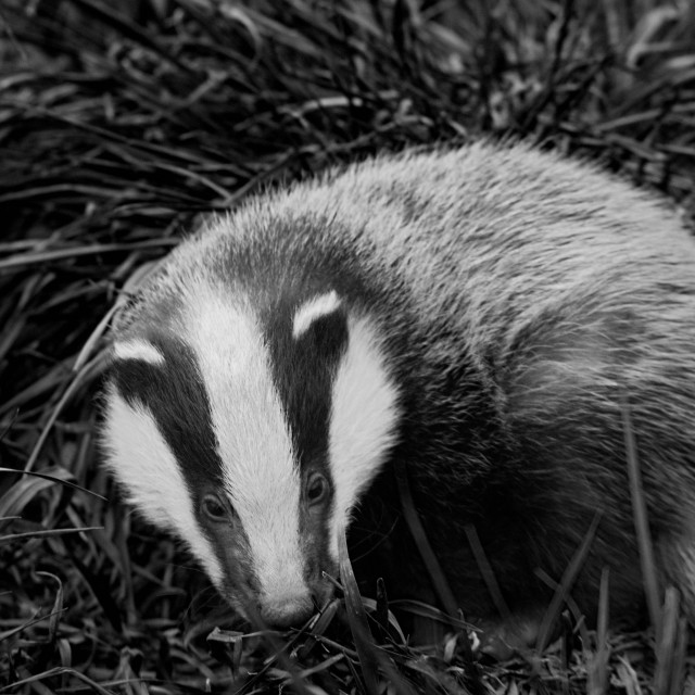 """Badger Cub"" stock image"