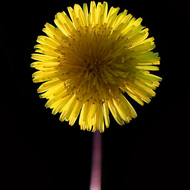 """Yellow dandelion flower on a black background"" stock image"