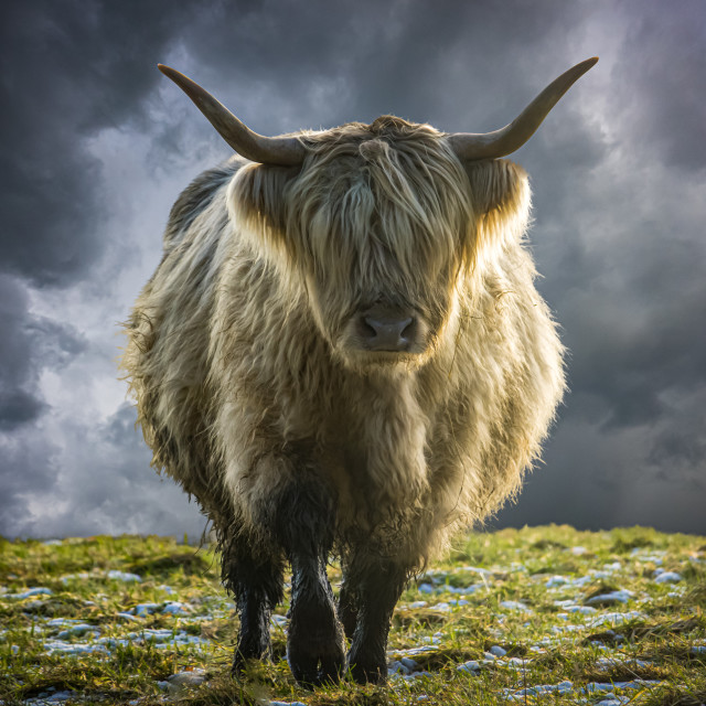 """""""Scottish Highland Cow In Winter"""" stock image"""