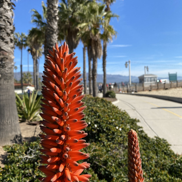 """Red Hot Poker plant in Santa Barbara, CA"" stock image"