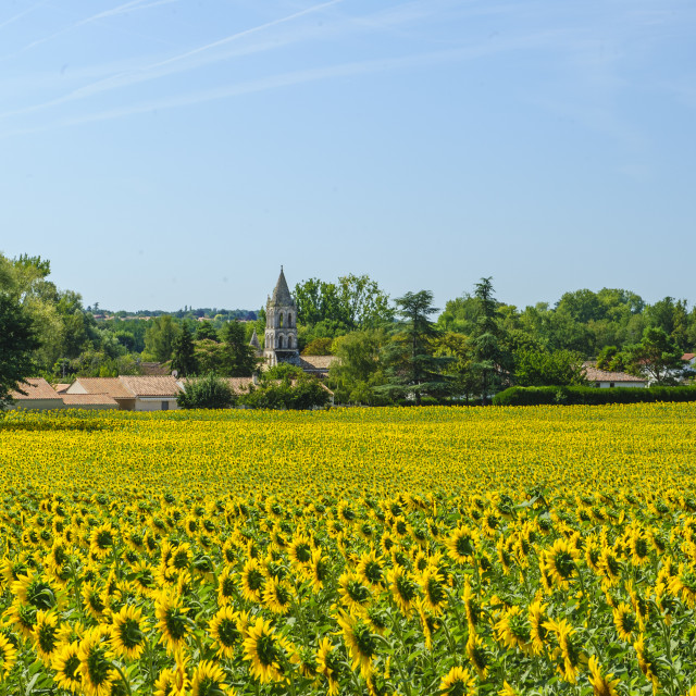 """""""Field of Sunflowers, Charante, France"""" stock image"""