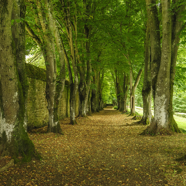 """Beech Avenue, France"" stock image"