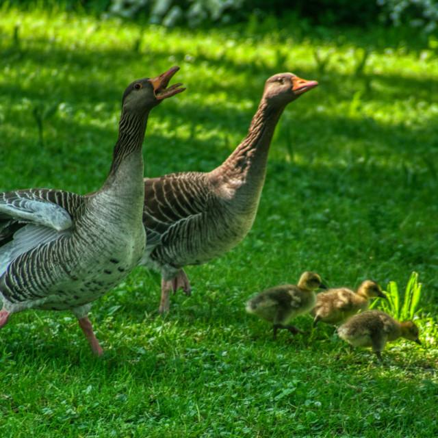 """Duck family 1"" stock image"