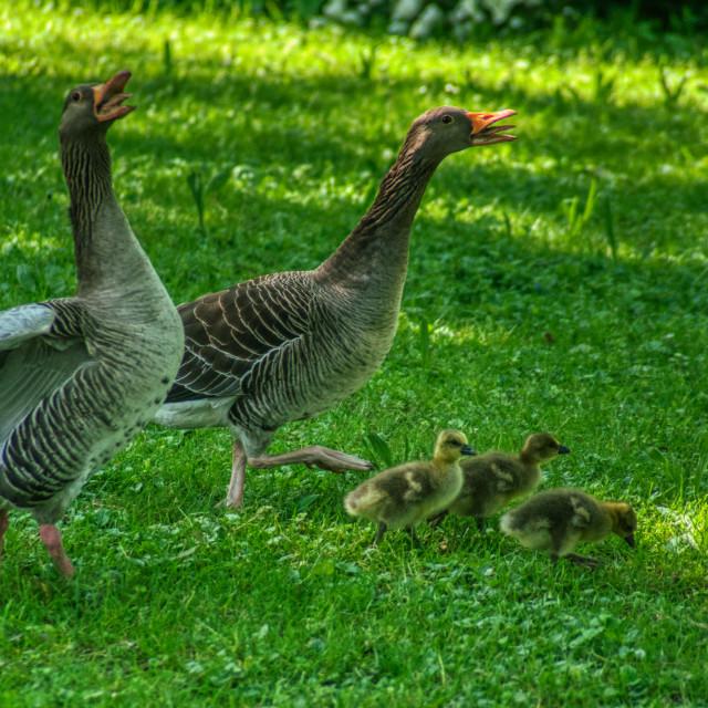 """Duck family 3"" stock image"