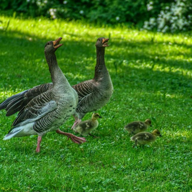 """Duck family 2"" stock image"