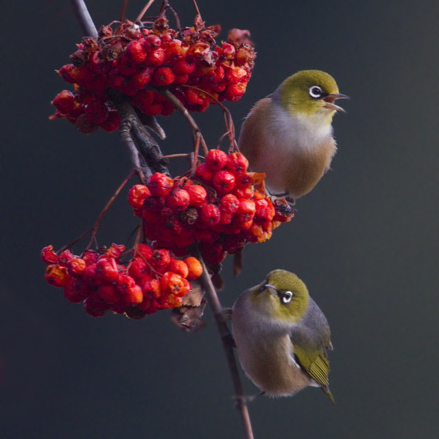 """A pair of Silvereyes"" stock image"