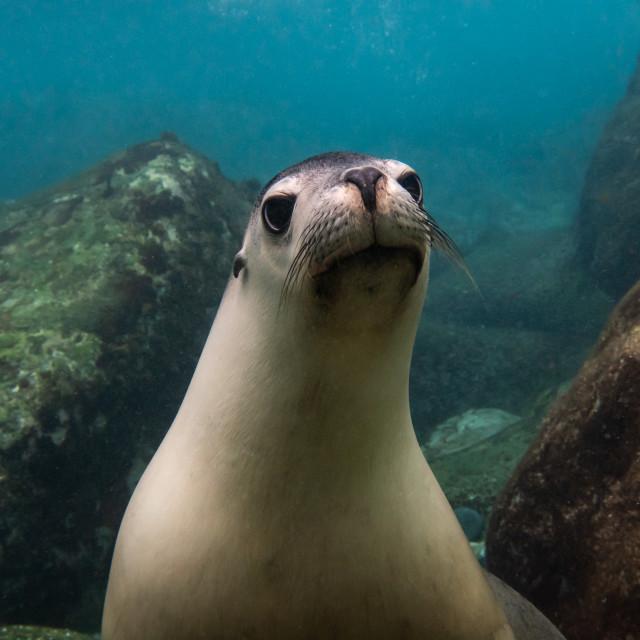 """Australian Sea Lion"" stock image"