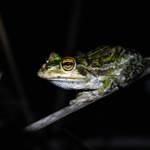 """WA Green Tree Frog"" stock image"