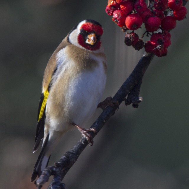 """Goldfinch in a Rowan tree"" stock image"