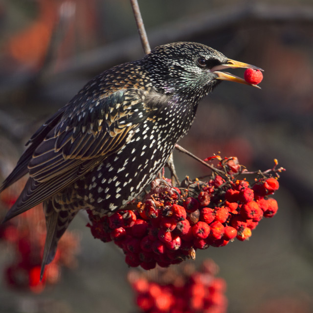 """Starling in a Rowan tree"" stock image"