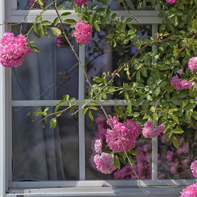 """Rugosas Roses by the Window"" stock image"