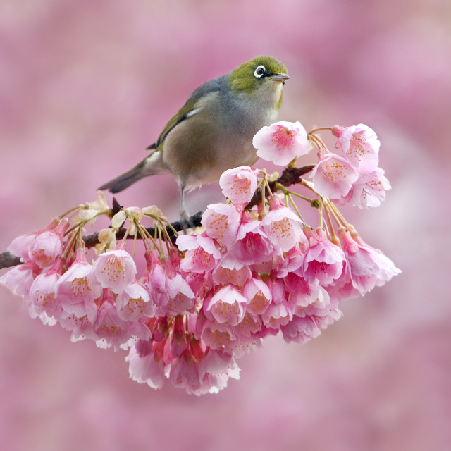 """Silvereye in Cherry Blossom."" stock image"