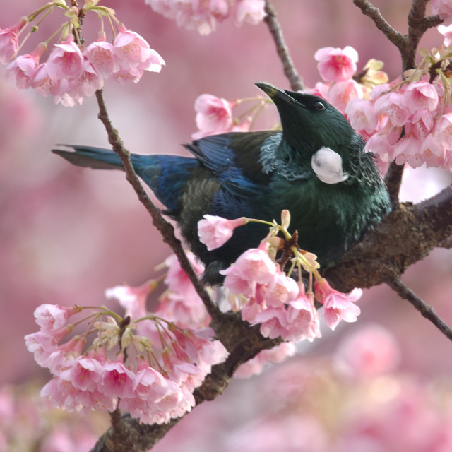 """Tui in a cherry blossom tree"" stock image"