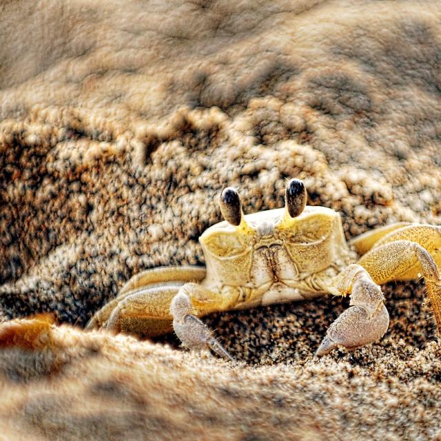 """Sand Crab"" stock image"