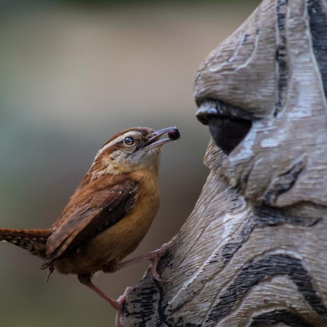 """""""Carolina Wren with Zebra Nesting place"""" stock image"""