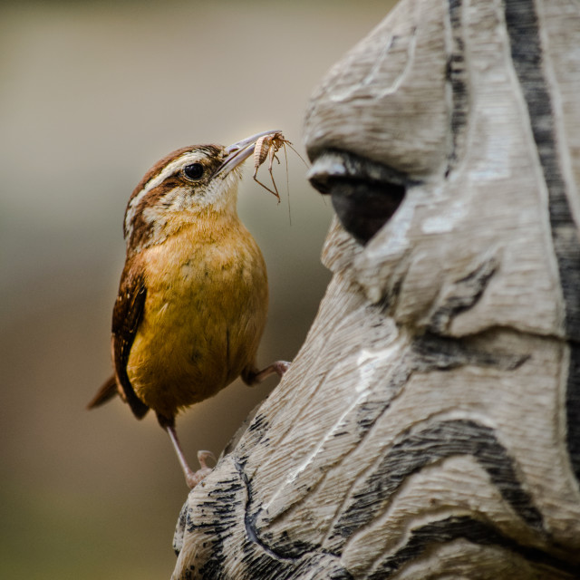 """Carolina Wren - fake zebra"" stock image"