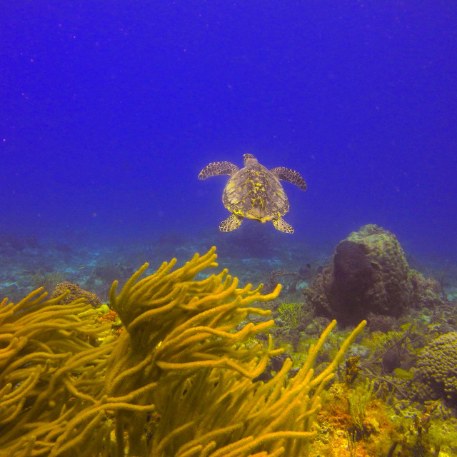 """Hawksbill Turtle."" stock image"