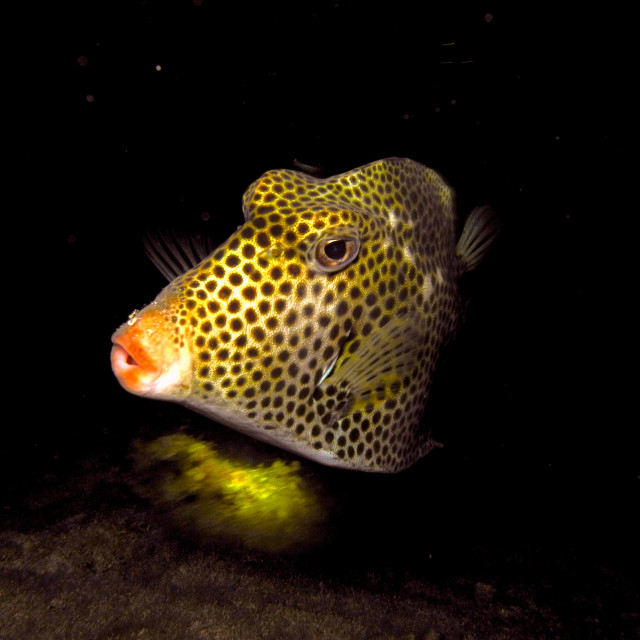 """""""Boxfish."""" stock image"""