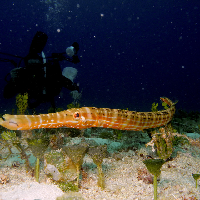 """""""Trumpetfish with a diver."""" stock image"""