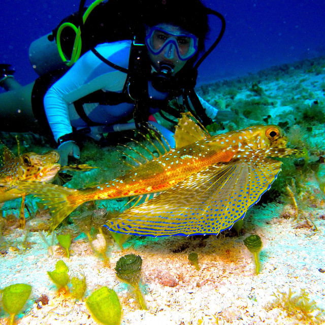 """""""Flying gurnard with a diver."""" stock image"""