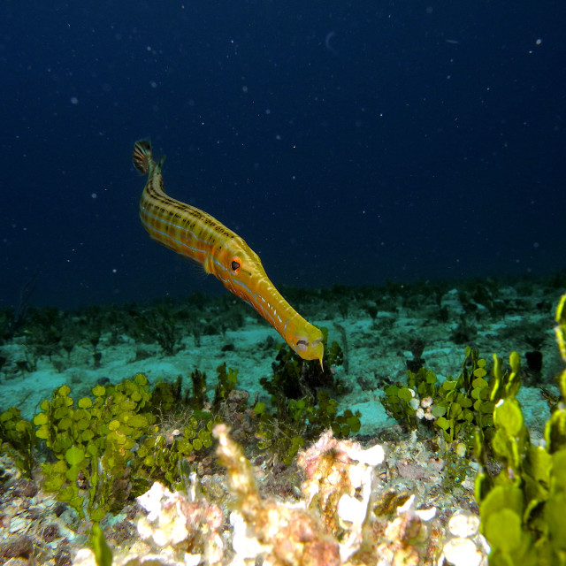 """Trumpetfish."" stock image"