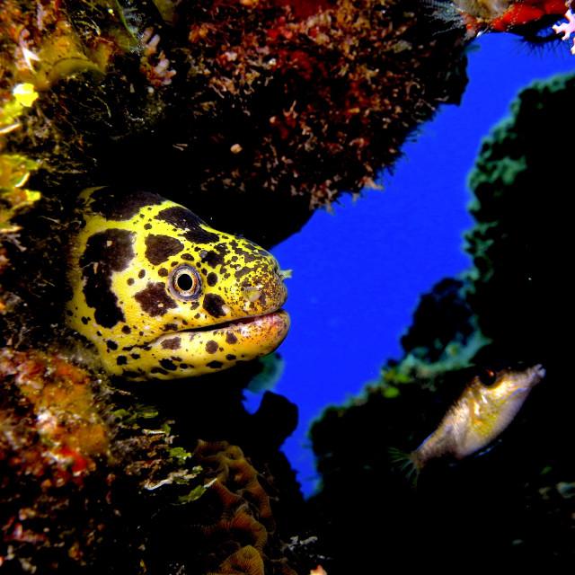 """""""Chain Moray eel."""" stock image"""