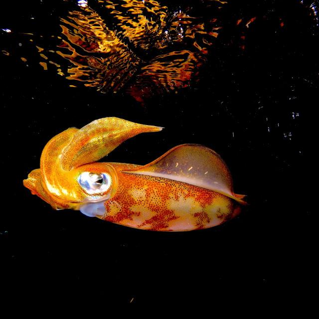 """Reef Squid."" stock image"