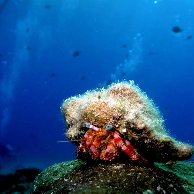 """""""Hermit Crab."""" stock image"""