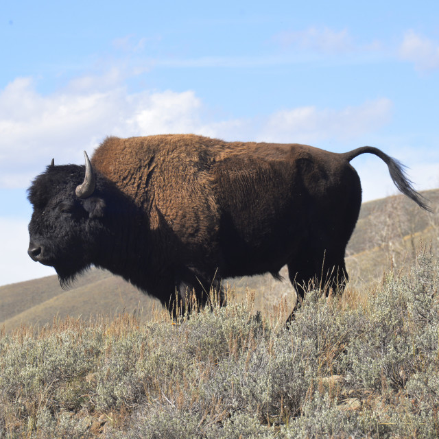 """""""Bison, Yellowstone National Park"""" stock image"""