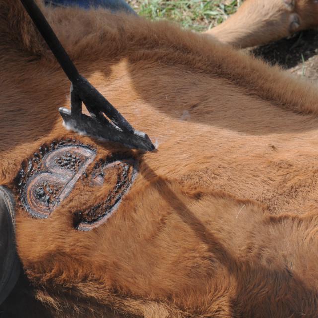 """""""Cattle Branding"""" stock image"""