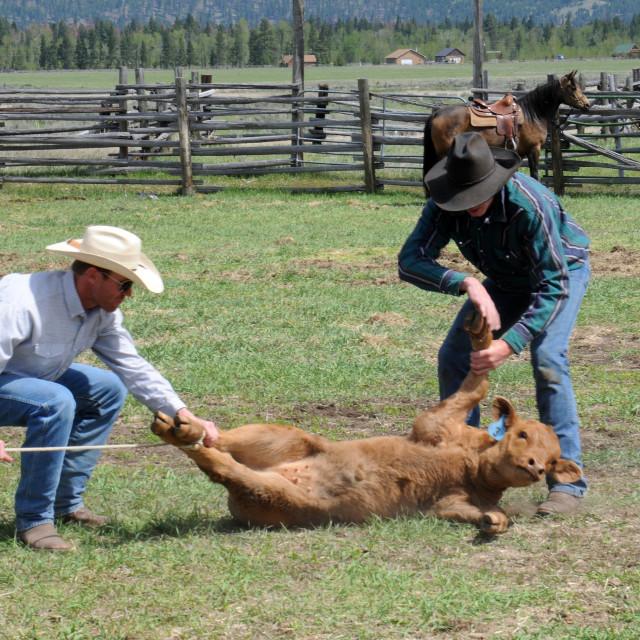 """""""Cattle branding season"""" stock image"""