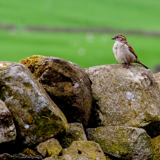 """""""Sparrow Perched on Stone Wall"""" stock image"""